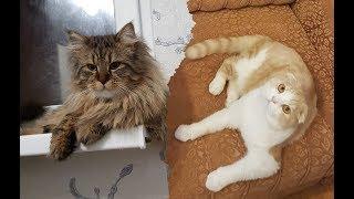 Дружба Мейн-куна и Шотландского вислоухого кота.