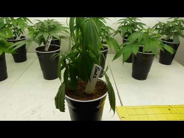 Under Watering and Over Watering Cannabis