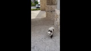 """Adorable Dog Goes Running Toward His Mom When She Says """"Come on Baby"""""""