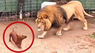 Bir Köpeğin Aslan Kafesine Girmesine İzin Verdiler. Sonra Herkesi Şok Eden Şey Oldu!
