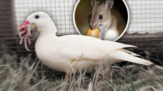 Watch our tiny Duck find a Big Mouse...