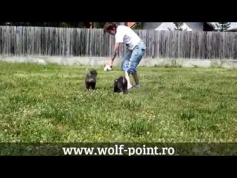 WOLF POINT romanian kennel - AKITA INU puppies for breeding and shows