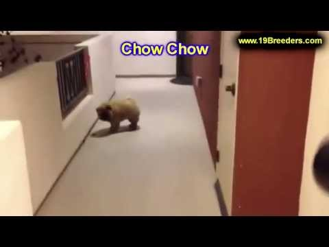 Chow Chow, Puppies, Dogs, For Sale, In Chicago, Illinois, IL, 19Breeders, Rockford, Naperville