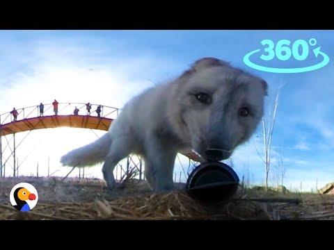 Foxes 360°: Rescue Fox Steals Camera   The Dodo VR