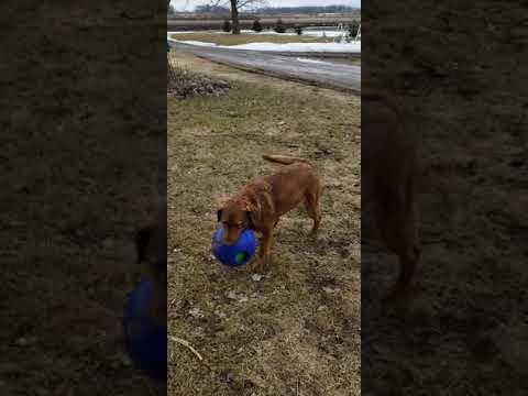 Chesapeake bay retriever 2 year old puppy