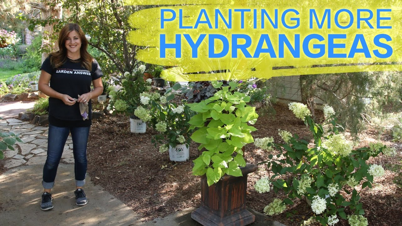 High Quality Planting More Hydrangeas // Garden Answer   YouTube
