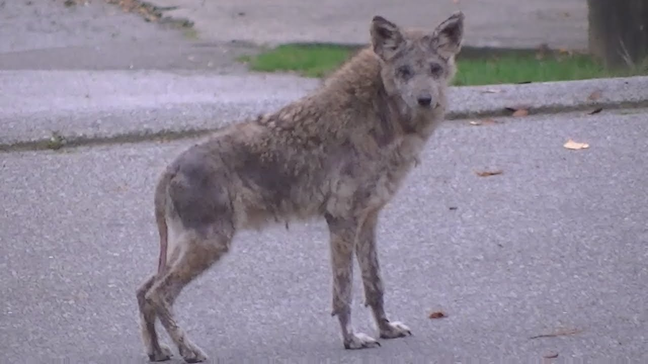 Wolf Coyote Cat Dog