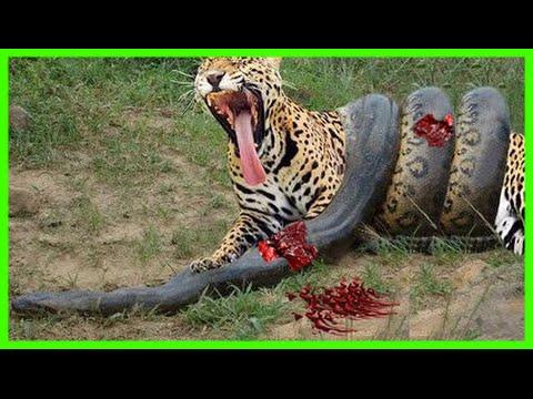 black mamba vs lion