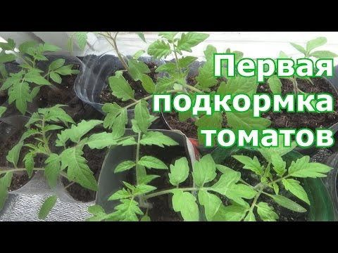 Первая подкормка томатов после пикировки