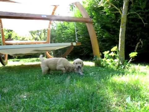 Puppy Golden Retriever 6 Weeks