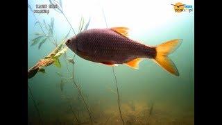 Ryby na żywo w Jeziorze Solińskim w Bieszczadach