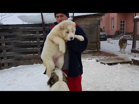 female Yasmin for SALE alabai puppies Central Asian Shepherd Dog