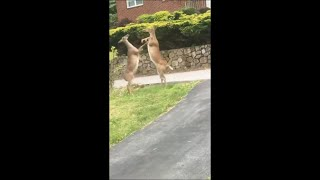 Two Deers Stood up on Hind Legs as They Traded Blows