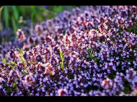 Трава чабрец: лечебные свойства и противопоказания, фото
