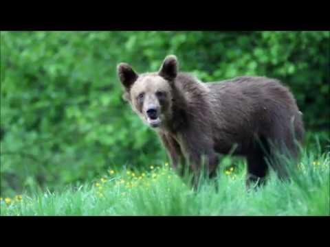 Medvěd hnědý -  Videolovy - Life in nature