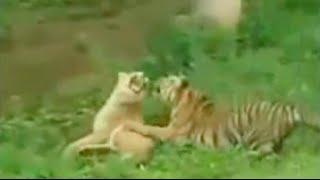 ライオン対トラの激レア対決映像にライオンが○○におい込まれる衝撃映像...