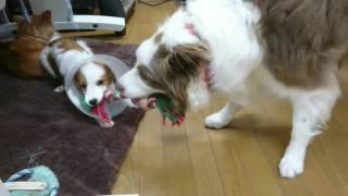 最初はおもちゃで遊んでくれていたのに兄(ボーダーコリー)の顔を噛みつ...