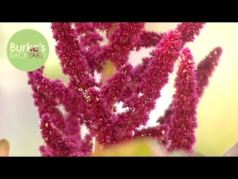 Burke's Backyard, Amaranth