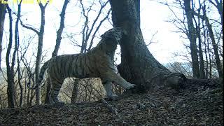 Тигр Тихон, видео фотоловушки Земля леопарда