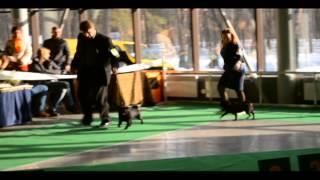 Выставка собак Акана-2013, Киев, мопсы