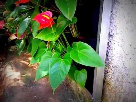 Ecosydney jard n vertical de anturios youtube for Jardines de anturios