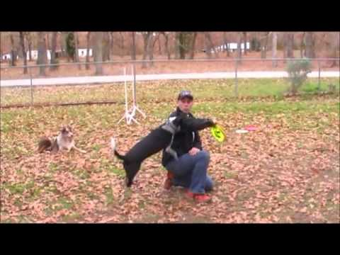 Angel The Circus Dog turns Disc Dog