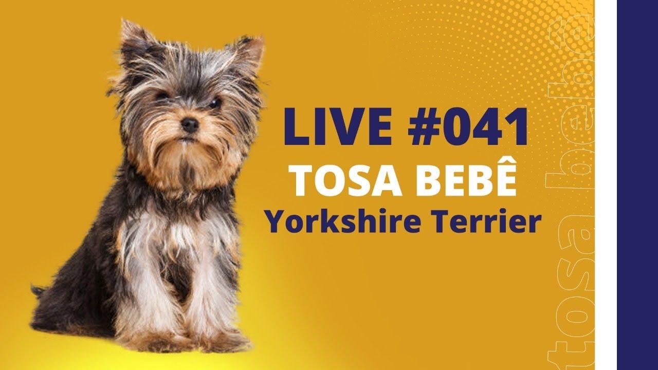 Live#041 - Tosa Bebê - Yorkshire Terrier