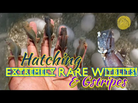 Hatching Rare Witblits & HypoTrans Genetic Stripe Bearded Dragons