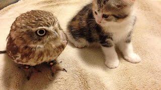 Cute Kitten Plays With Small Owl Bird