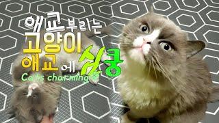 [까까캔디] 개냥이 캔디 고양이가 간식 달라고 애교 부리는모습 #애교냥이 #고양이애교 보세요  배보이는고양이 고양이간식  애교쟁이 #개냥이  스킨쉽 좋아하는 고양이