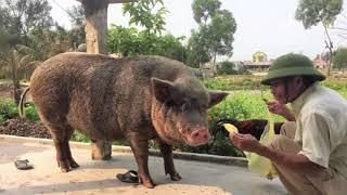 Chú heo kỳ lạ ở Quảng Bình: Chủ nói gì làm nấy, biết dắt cả đàn bò, ăn gà bỏ xương