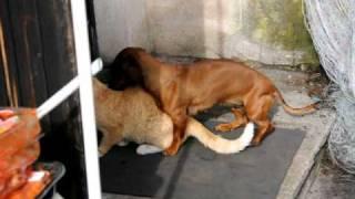 Female Dog banging Male cat
