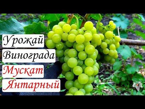 Виноград Мускат Янтарный. Урожай