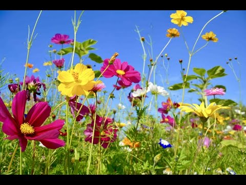 """Peaceful Music, Relaxing Music, Instrumental Music, """"Wildflowers"""" by Tim Janis"""