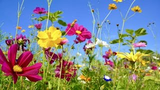 Peaceful Music, Relaxing Music, Instrumental Music, 'Wildflowers' by Tim Janis