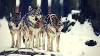 PRZYSTANEK BIESZCZADY: Nie strzelajcie do wilków!  | Discovery Channel