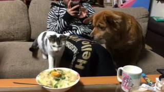 机の上に置かれてるご飯を食べようと狙ってる猫を愛犬(キャンディ)がダ...