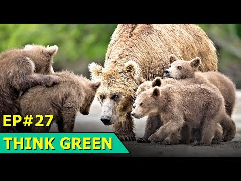 Russia Bears | Norway Ice | Living Planet Report | Uk Ecoboard | Think Green : Episode 27