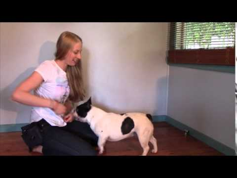 Train My French Bulldog Part 7 SPIN | Dog Training Tutorial