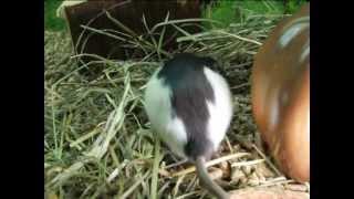 Все О Домашних Животных: И Снова Крысы