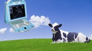 Pregnancy In Dairy Cow Of 110 Days, Diagnosed Using A Vet Ultrasound KX5000V