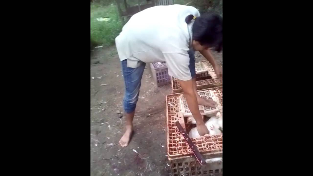 cara menyembelih ayam yang baik dan benar - YouTube