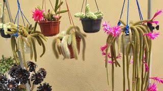 Veja Esses Cactos Floridos