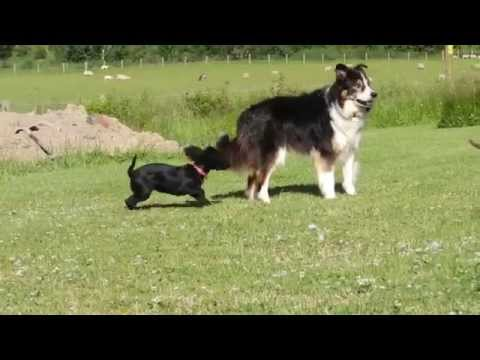Cocker spaniel vs border collie