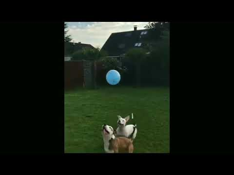 These two Pitbulls love playing with balloon