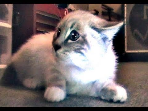 Thumbnail: Talking Kitty Cat 5.5 - Meet Gibson!