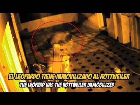 Rottweiler es emboscado atacado por un Leopardo   Rottweiler vs Leopard