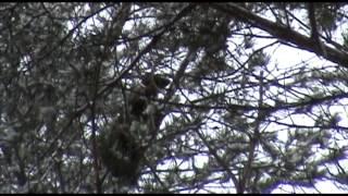 Охота на куницу с лайкой видео