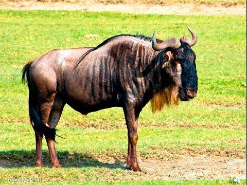 Кто такая антилопа гну и где она обитает
