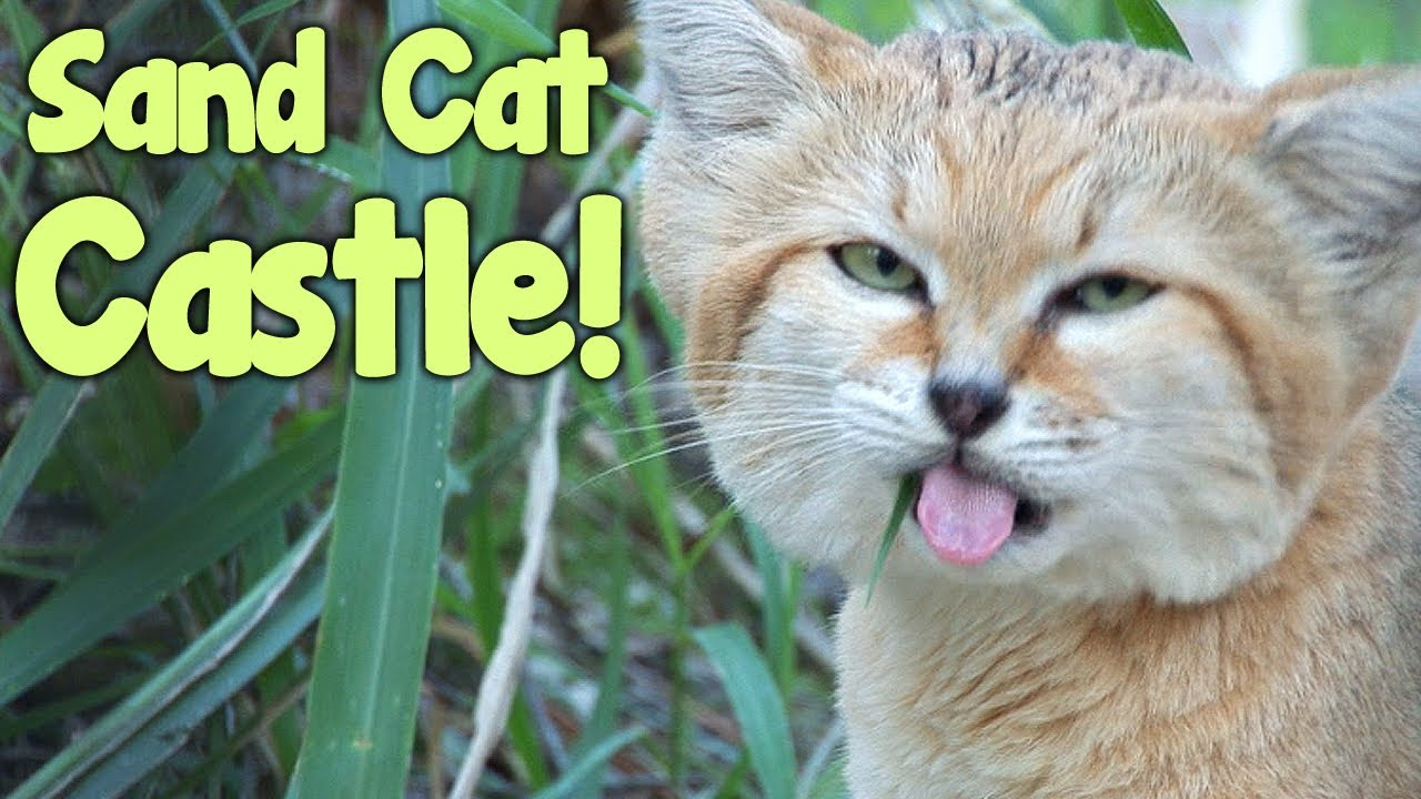Youtube Big Cat Rescue Sand Cat